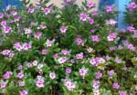 Sadabahar-flower-400×280