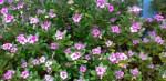 Sadabahar-flower-680×330