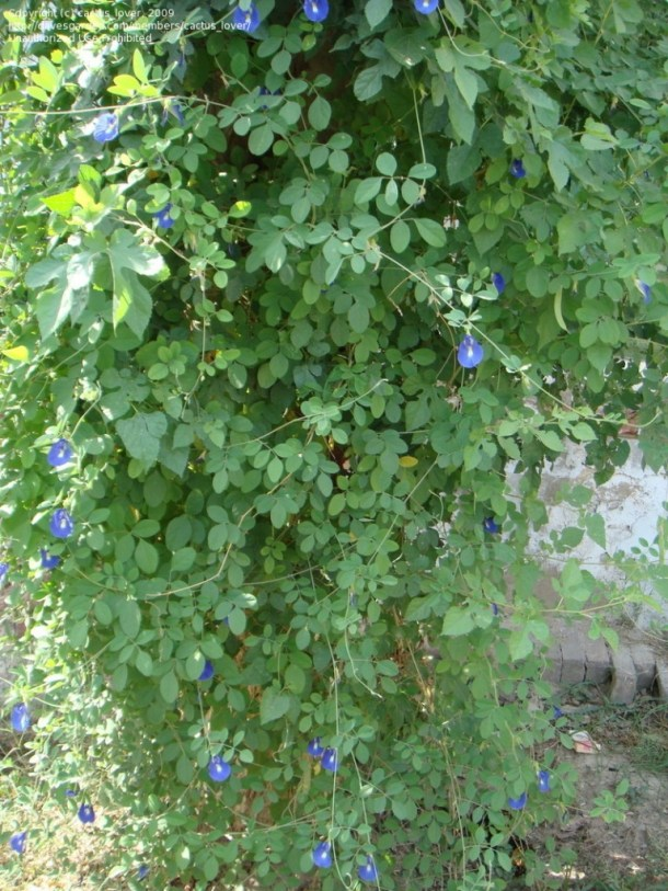 Creeper of Butterfly pea