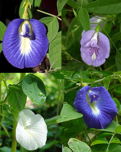 Different-colours-of-Butterfly-pea-flower