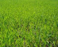 Field of doob grass