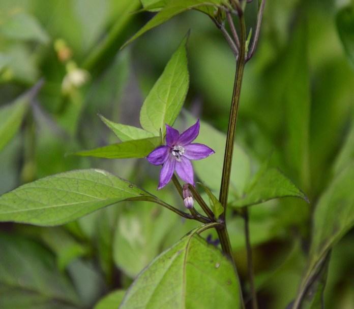Tiny flower of Black pepper