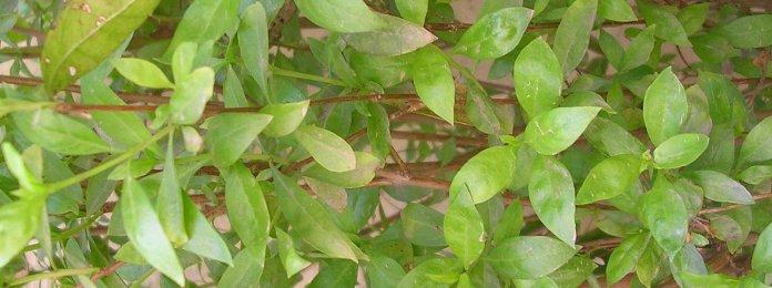 Tender leaves of Henna