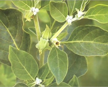 Ashwagandha leaves for health