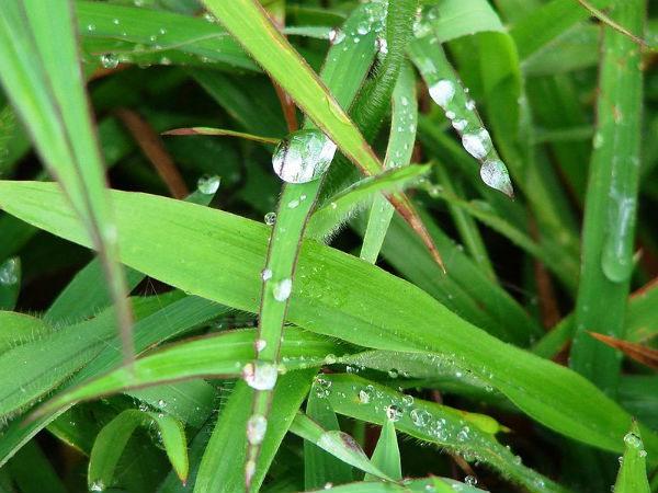Leaves of doob grass