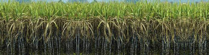 Large farms of Sugr Cane