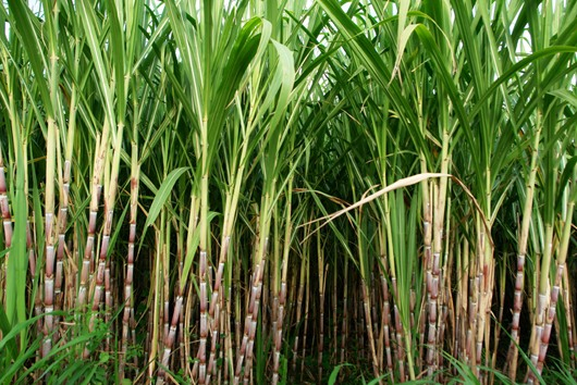 Sugar cane fruit and benefits