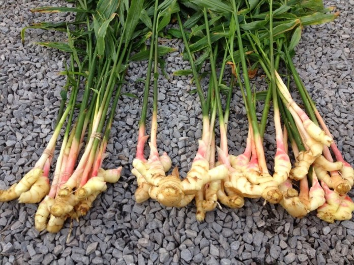 roots of Ginger Plant