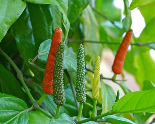 Health benefits of long pepper