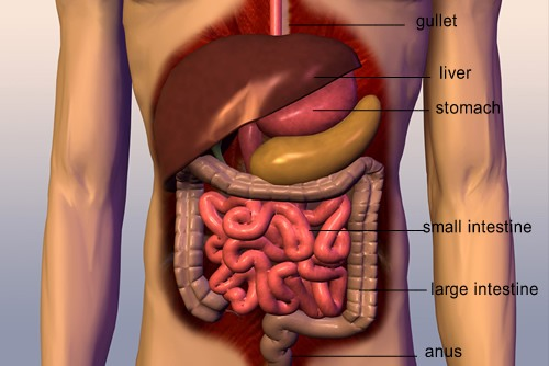 Digestive-system-in-humans