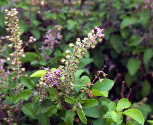 Flower-of-Basil-plant