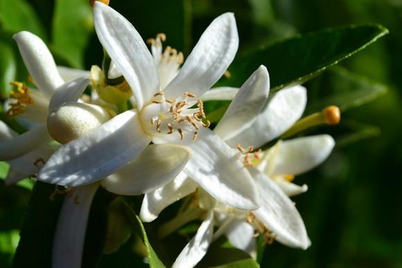 Lemon-flower-on-tree
