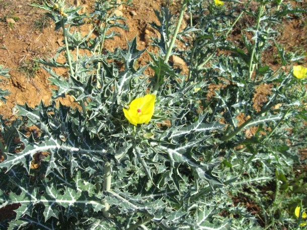 Plant-of-prickly-poppy