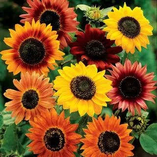 Different-colours-of-Sunflower