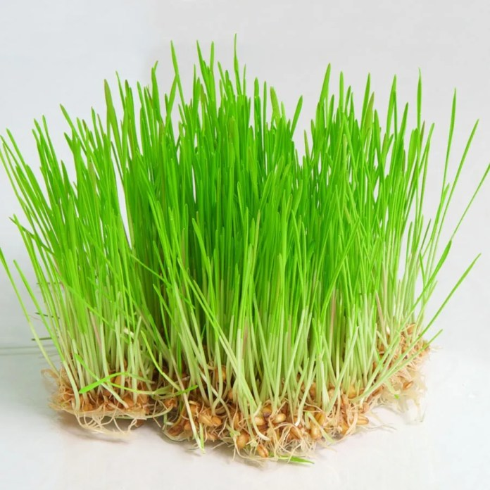 Fresh-wheat-grass