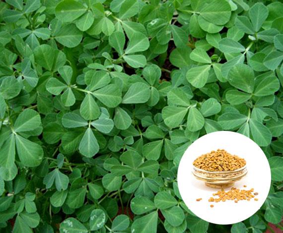 Fenugreek seeds and leaves