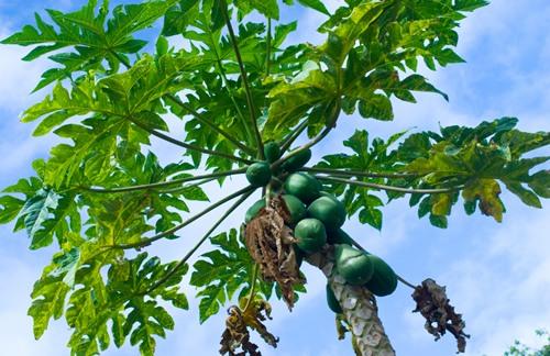 papaya leaves for Dengue