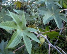Leaves-of-Castor-oil-plant