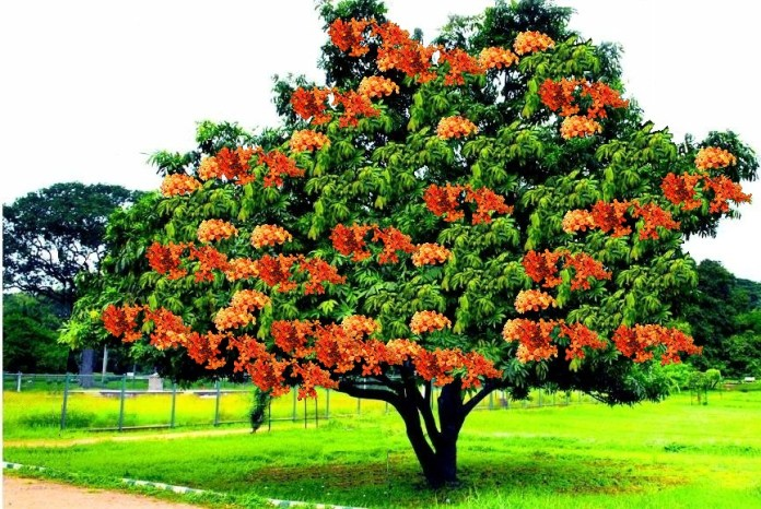 Tree of Ashoka