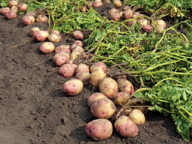 cultivation of potato