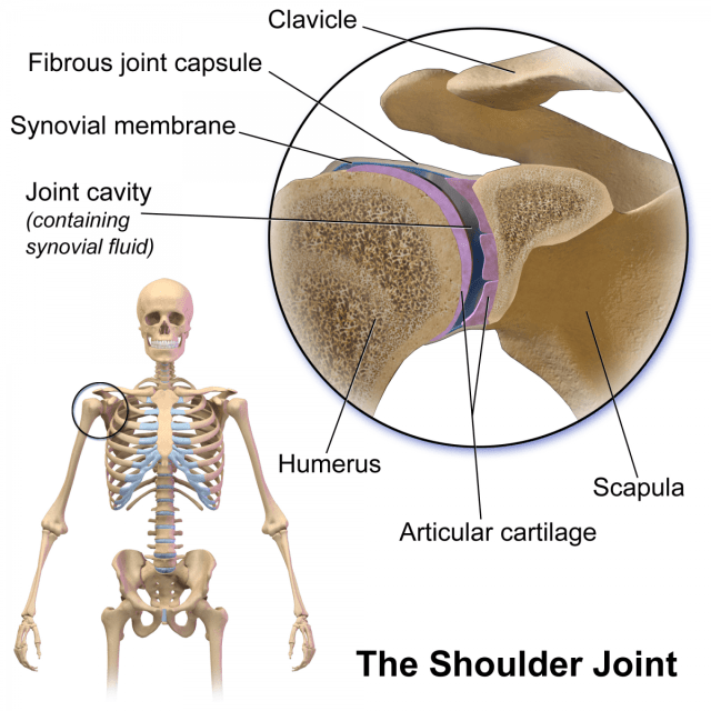 how shoulder joint works