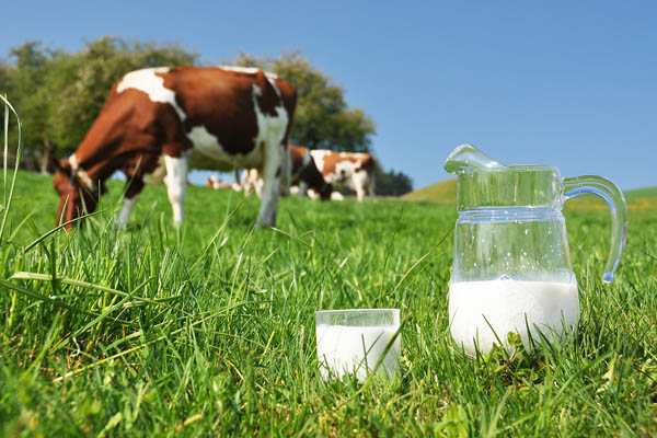 cow milk for health