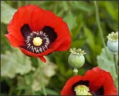 Benefits of Afeem (Papavar Somniferum)