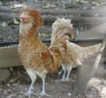 showchickens