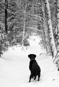 a labrador retriever in the snow, a dog at full attention and watching for what is hidden in the trees