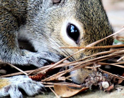 A Gray Squirrel Noses Around The Leaves And Pine Needles and Forest Duff For Food