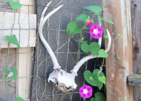 A weathered mule deer skull and antlers on a garden fence with morning glory vines and flowers