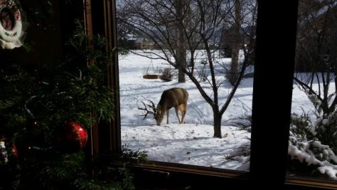 Photograph of Mule Deer buck feeding outside of the window in colorado with christmas tree and ornaments in foreground