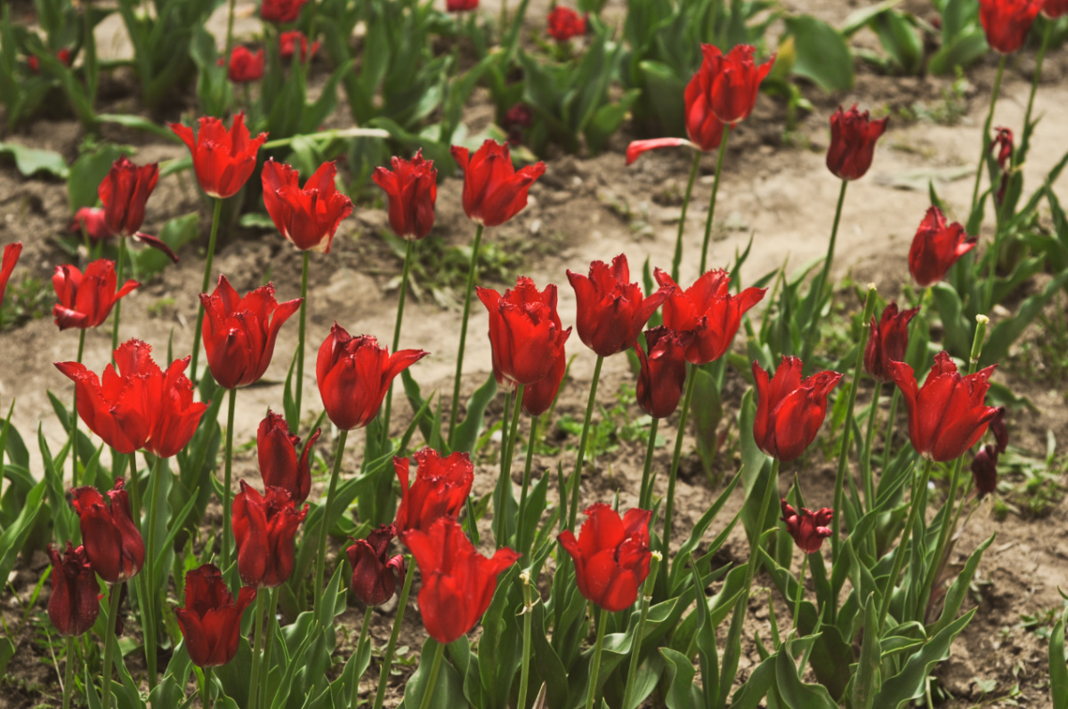 tulipani Scandicci