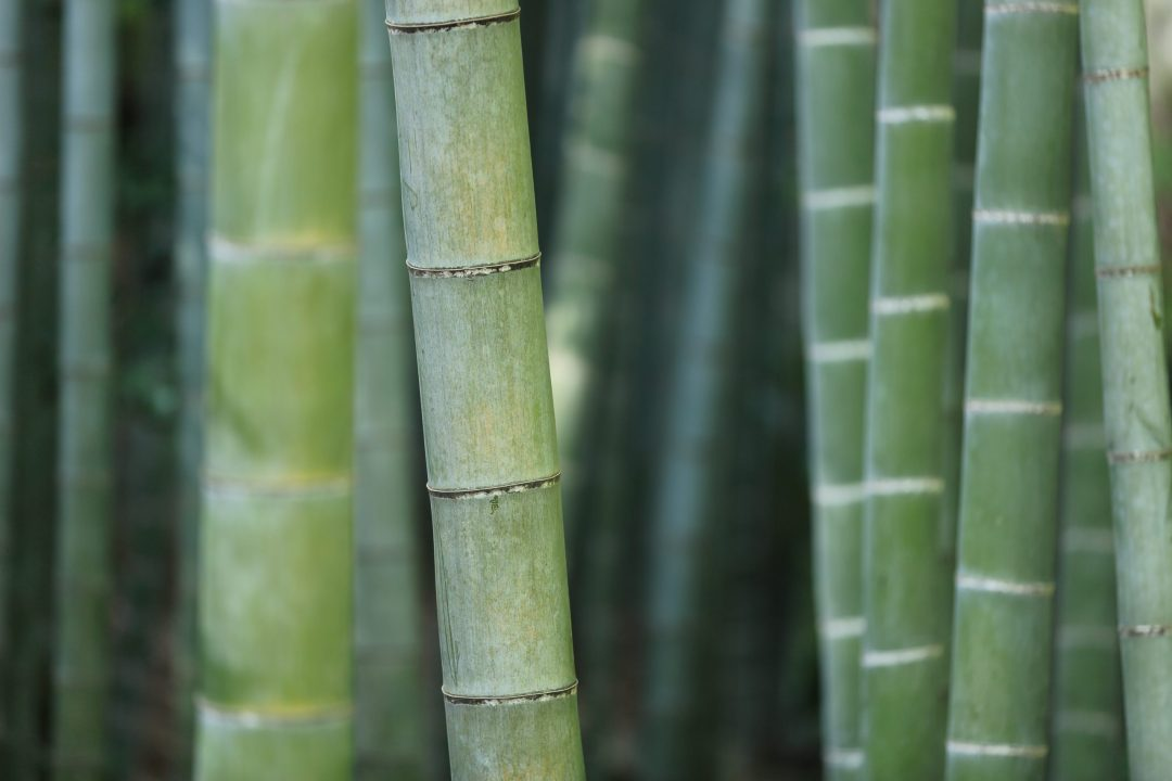 Bamboo Plant. The Bambu shop, Bamboo Products online.