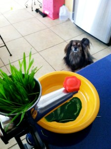 wheatgrass for dogs image