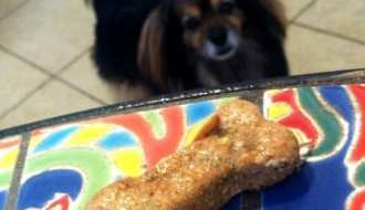 Little dog looking at homemade dog biscuit sitting on table