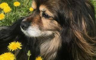 long haired small dog laying in field of dandelions
