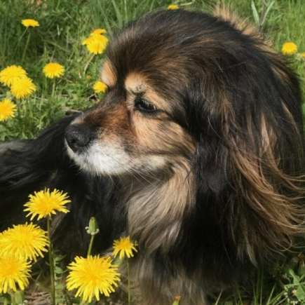 beautiful dandelion and dog image