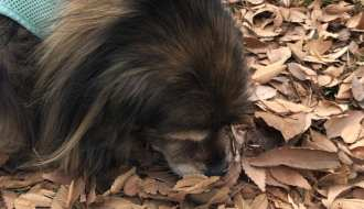 dog sniffing leaves