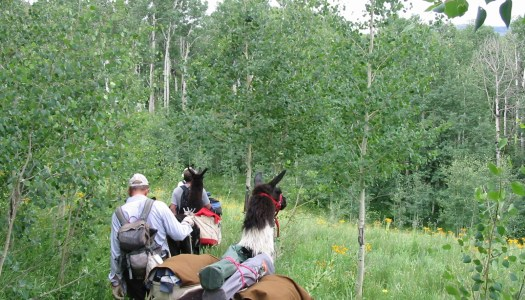Mountain Dispatch: Llama packing the West Elk Wilderness