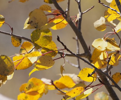 A close-up view of Colorado's Aspen Leaves.