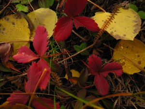 Autumn Leaves in the Sierras