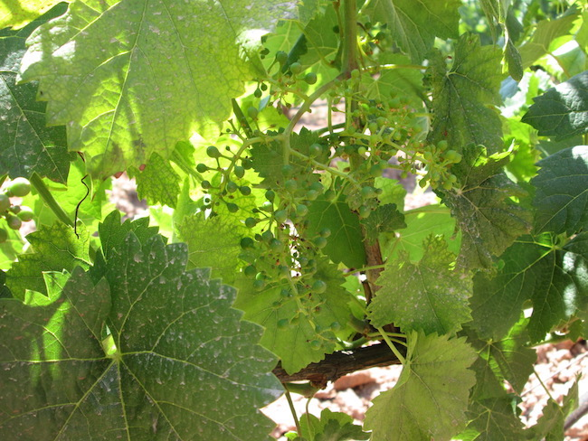 Baby grapes on the Oller de Mas vines