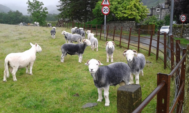 A herd of sheep greeted me when I got off the bus a short walk from my hostel.