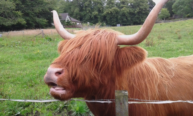 A hungry highland cow