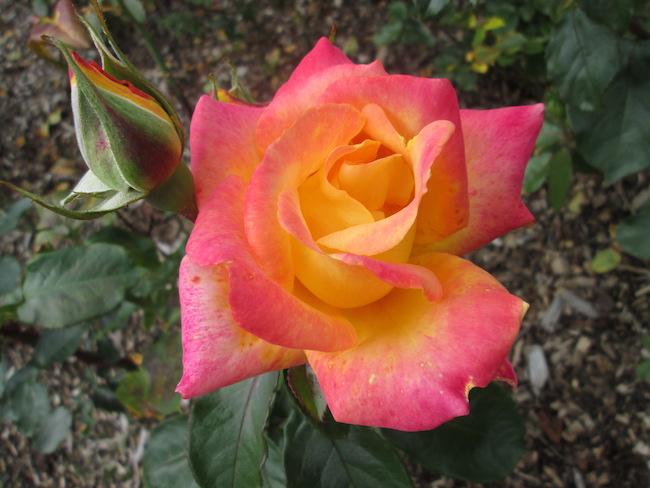 One of my favorite roses in the lovely Belfast rose garden