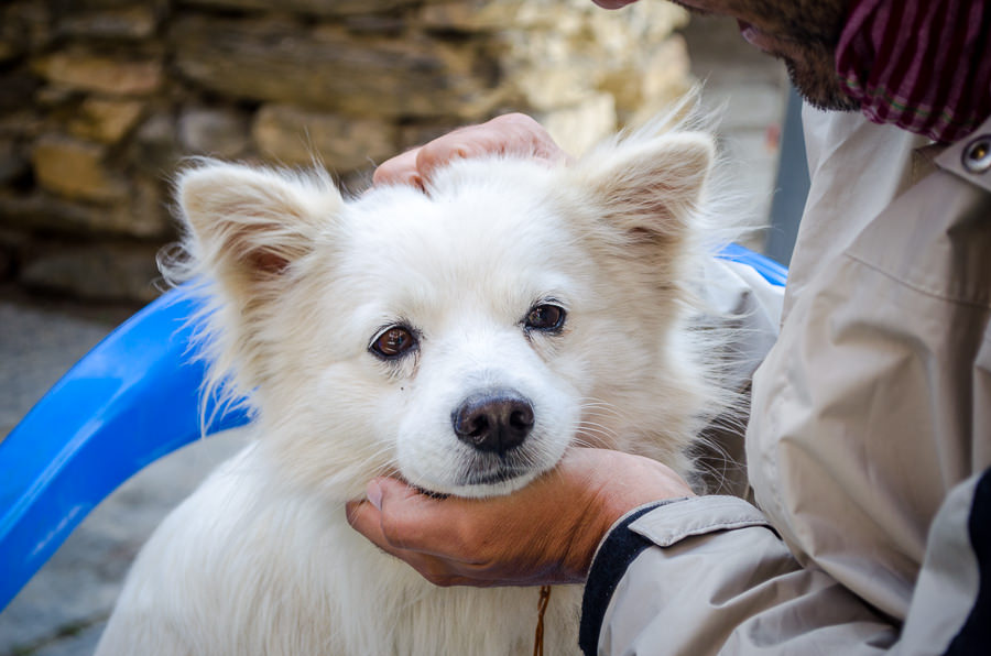 Kumar, a dog resembling Rambo that we met in the village of Ngawal, Nepal on the Annapurna Circuit