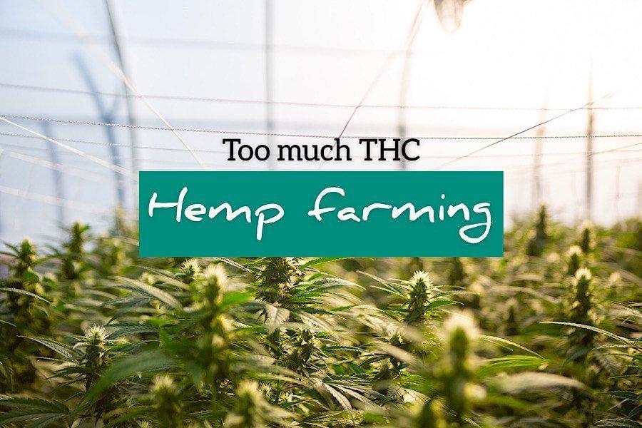 Bogus Hemp: Farmer's Producing  Too Much THC?