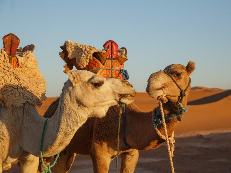 Nomadic Sahara trip shows 2 camels on the trek