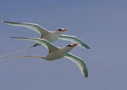 Bermuda Beasts: 8 Facts About Longtails